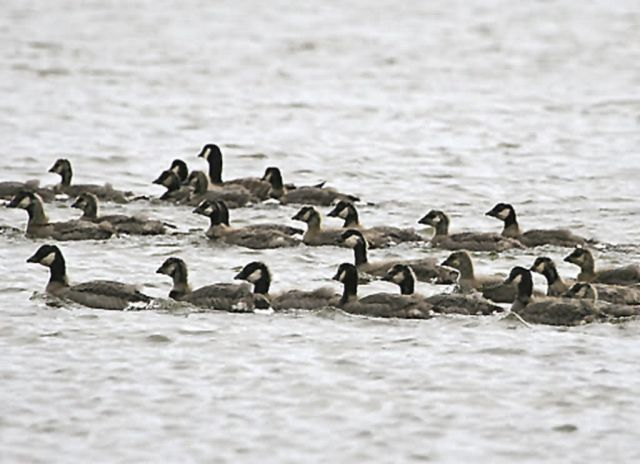 Cackling Geese Picture