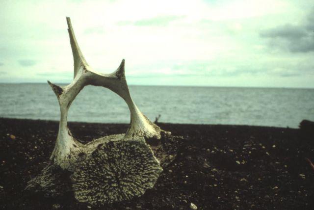 Whale Vertebra on Beach Picture
