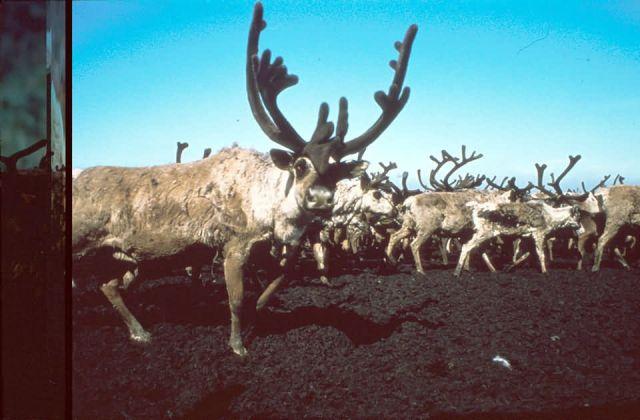 Caribou Picture