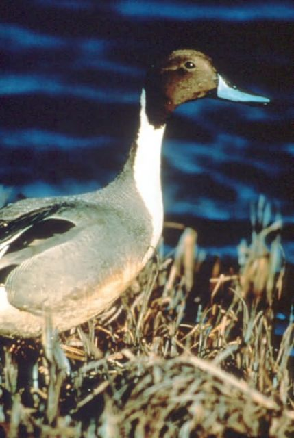 Pintail Duck Picture
