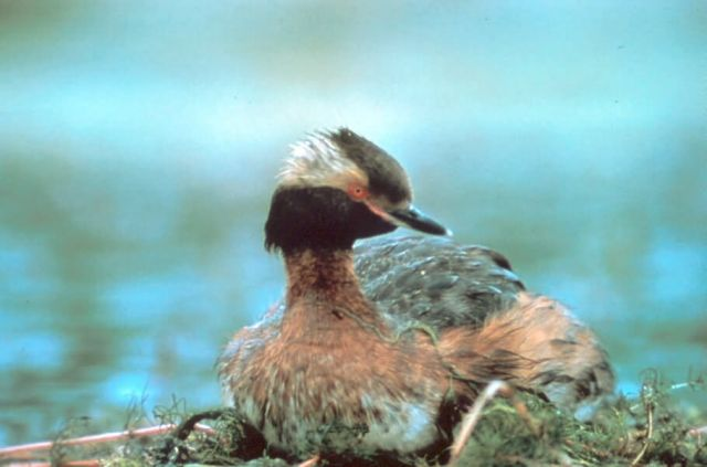 Horned Grebe Picture