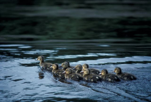 Ducklings Picture