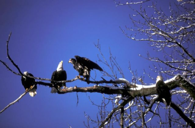 Bald Eagle Adults and Fledgling Picture