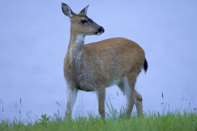 Sitka Black Tailed Deer Picture