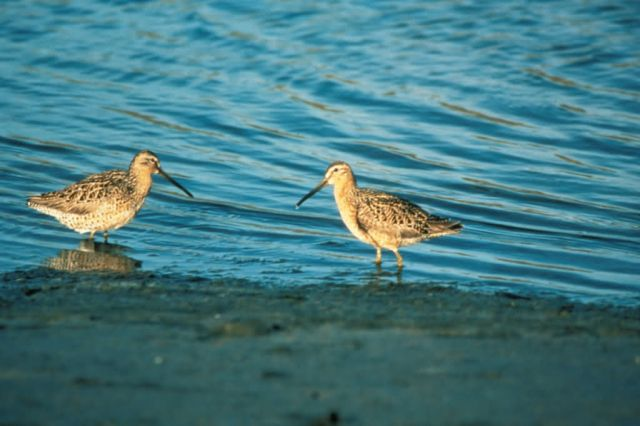 Short-billed Dowitcher Pair Picture