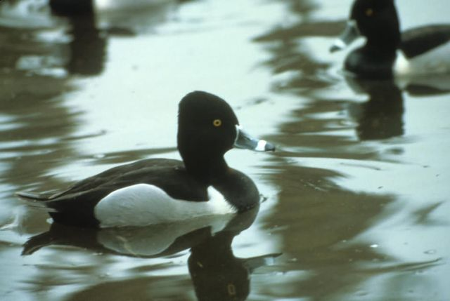 Ring-necked Duck Picture