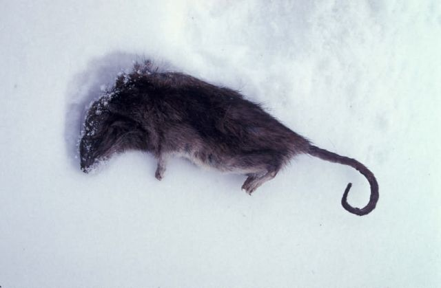 Norway rat killed in St. Paul Island prevention program Picture