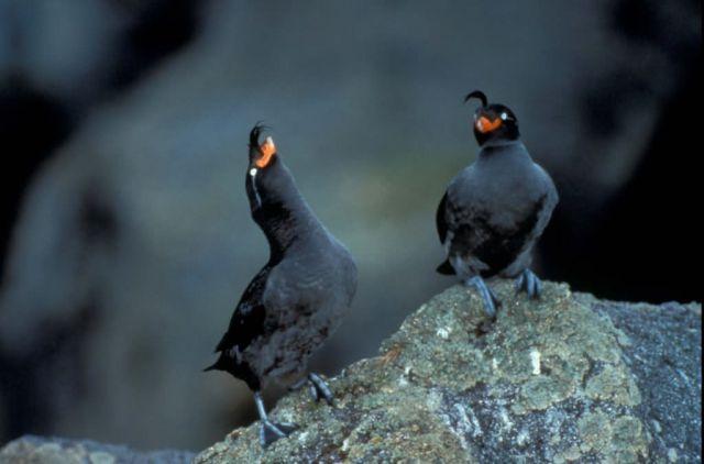 Crested Auklets on Kiska Island Picture