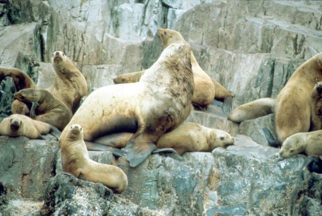 Sea Lions at Haulout Picture