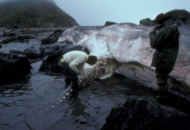 Buldir Island, beached sperm whale at Inner Rock Picture