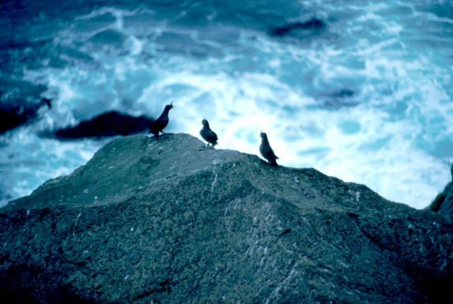 Crested Auklets Picture