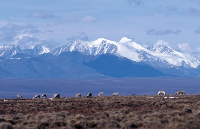 1002 Area: Caribou with mountain backdrop Picture