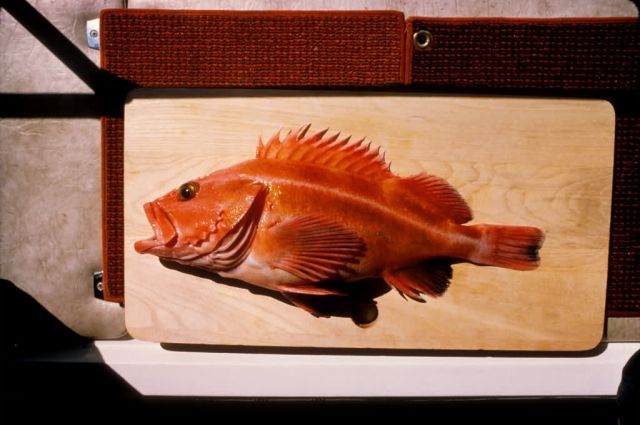 Yellow Rockfish Picture