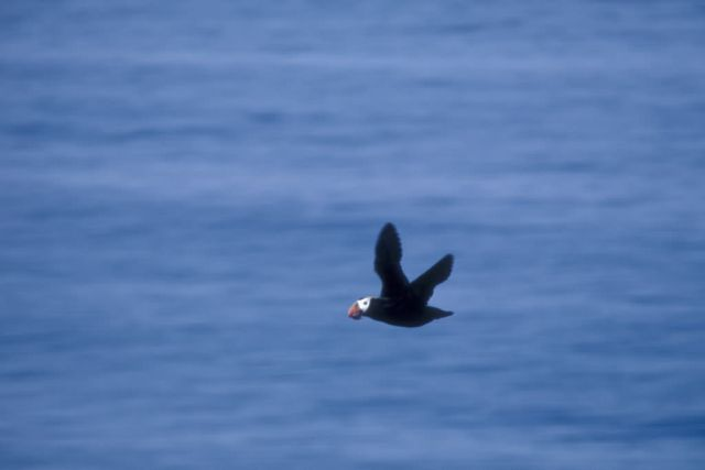 Tufted Puffin in Flight Picture