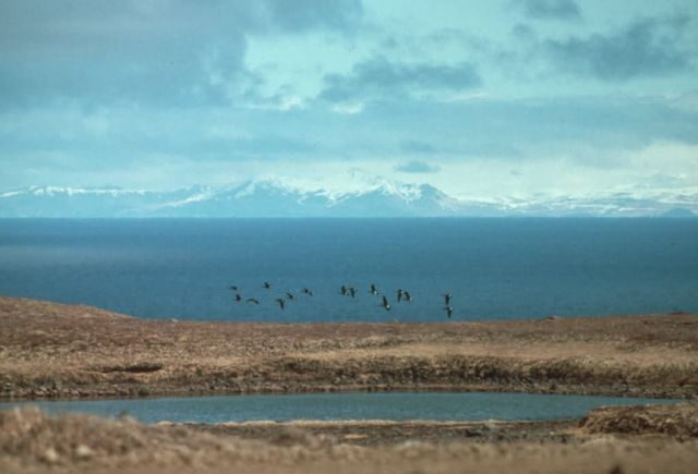 Aleutian Cackling Geese - Flock Flying over Wetland Picture