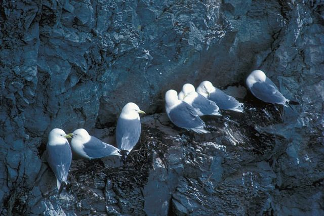 Black-legged Kittiwakes Picture