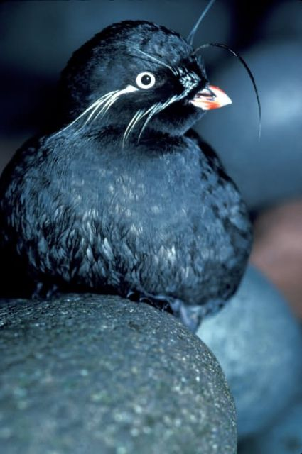 Whiskered Auklet Picture