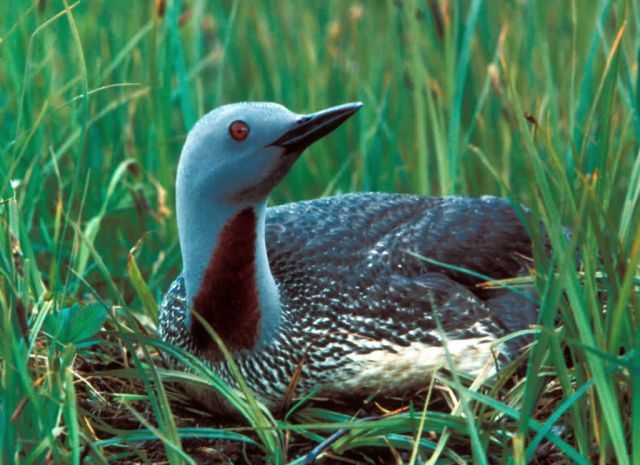 Red-throated Loon Picture