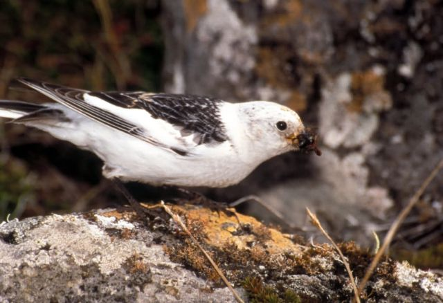 Snow Bunting Picture