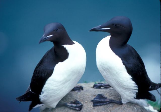 Thick-billed Murres, 1989 Picture