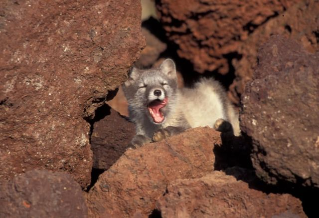 Arctic Fox juveniles, St George Picture