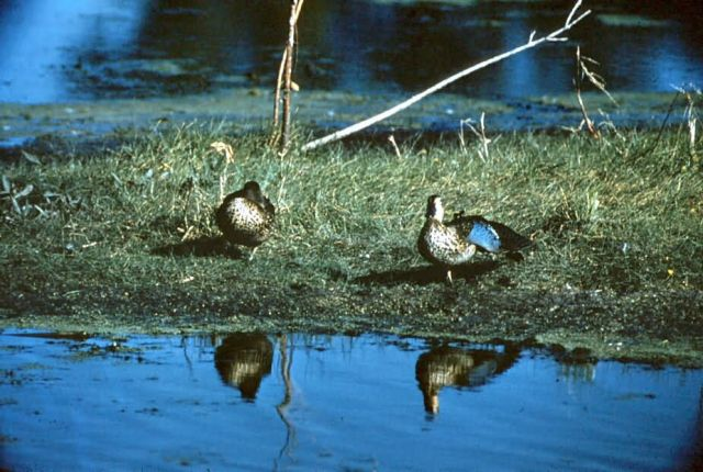 Blue-Winged Teal Picture