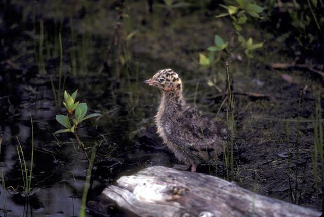 Bonaparte's Gull Chick Picture