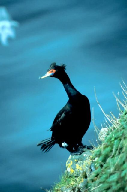 Red-faced Cormorant Picture