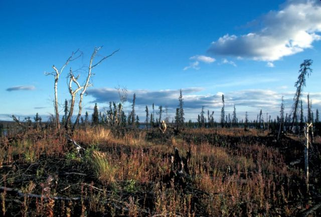 Koyukuk River Vegetation Picture