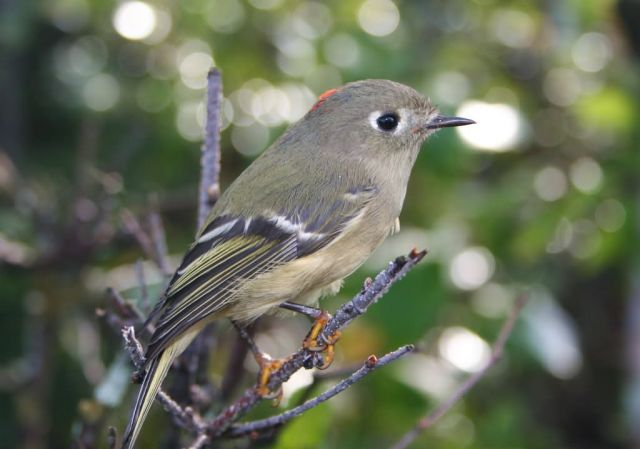 Ruby-crowned Kinglet Picture