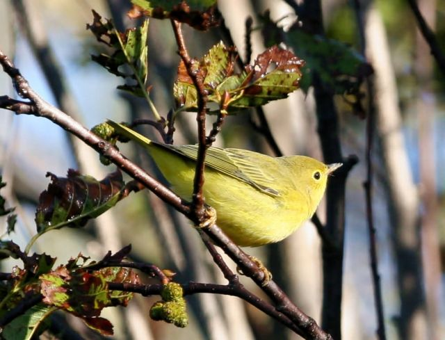 Yellow Warbler Picture