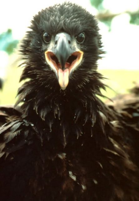 Bald Eagle Fledgling Picture