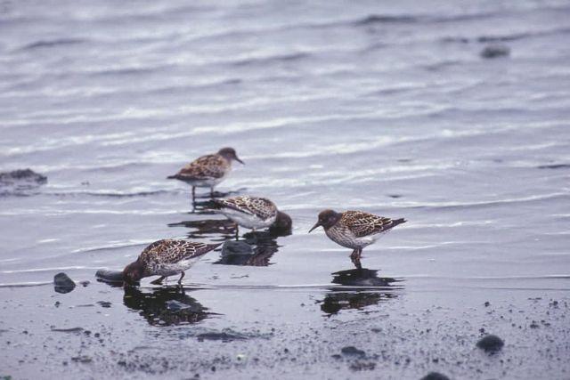 Dunlins at Shoreline Picture