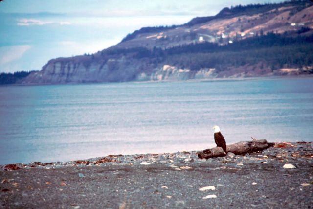 Bald Eagle on Beach Picture
