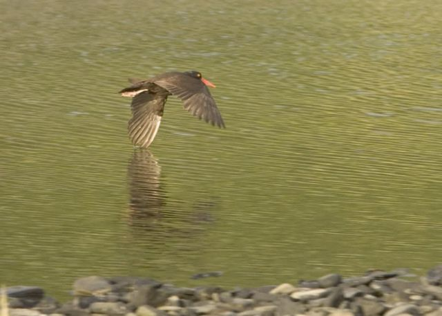 Black Oystercatcher on Nagai Island, Shumagins, Picture