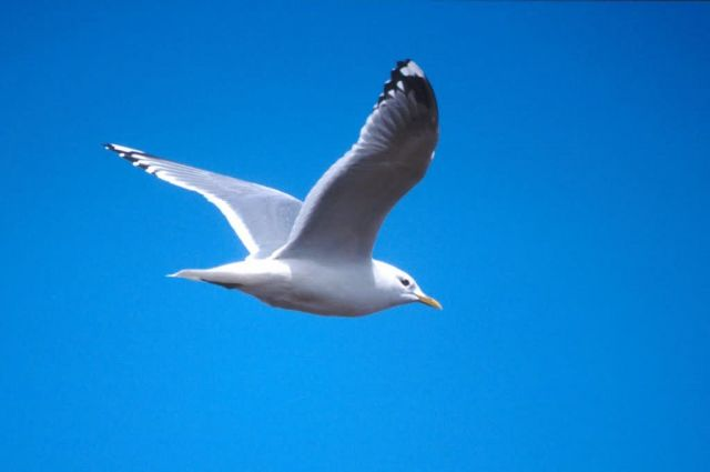 Mew Gull in Flight Picture