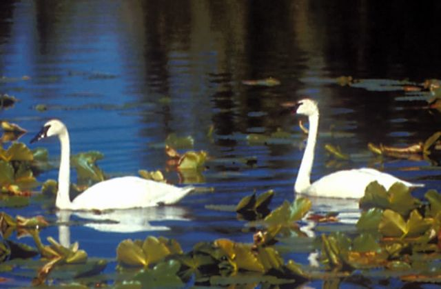 Tundra Swan Pair Picture
