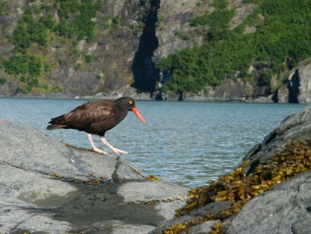 Black Oystercatcher Picture