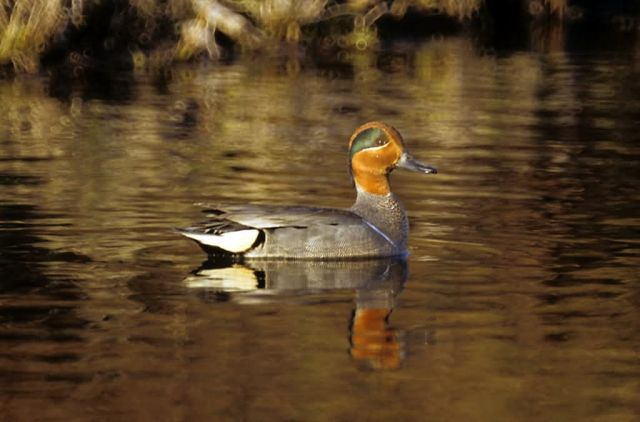 Green-winged Teal Picture