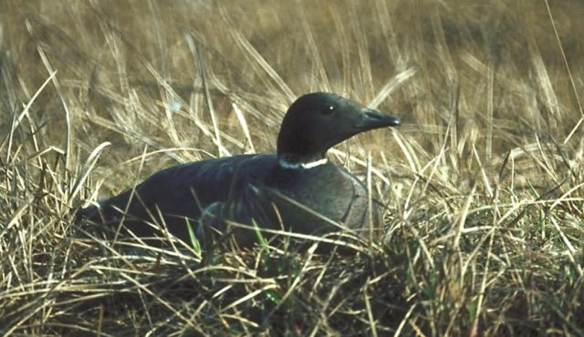 Brant on Nest Picture