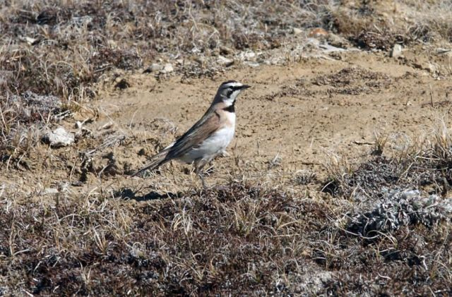Horned Lark Picture