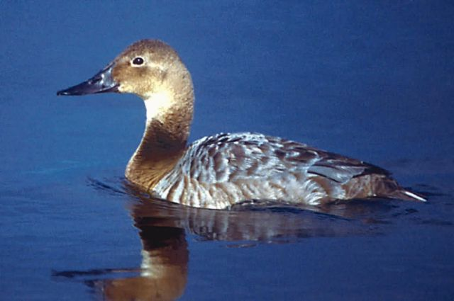 Canvasback Female Picture