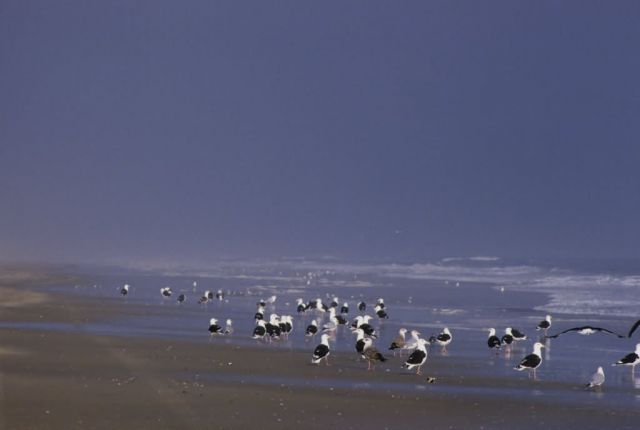 Black-backed Gulls at Shoreline Picture