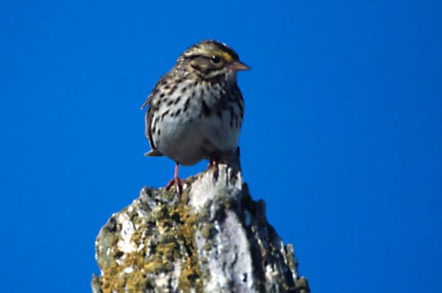 Savannah Sparrow Picture