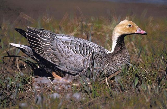 Emporer Goose Female on Nest Picture