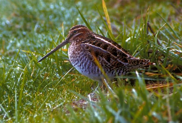 Common Snipe Picture