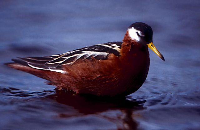 Red Phalarope Picture