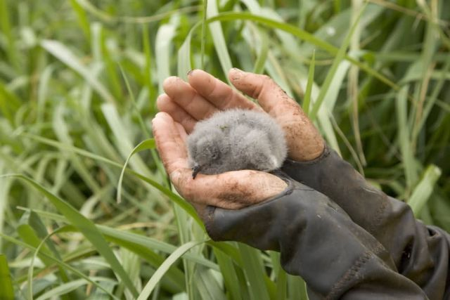 Fork-tailed Storm-Petrel chick, Ulak Island Picture