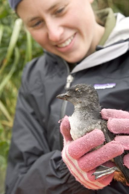 Cassin's Auklet on Ulak Island Picture