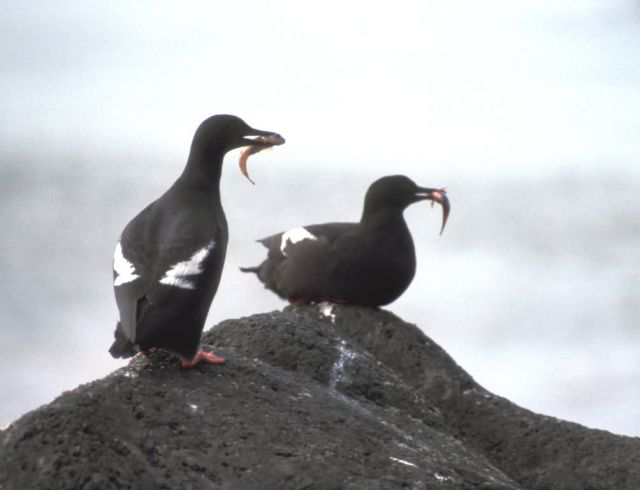 Pigeon Guillemots Picture